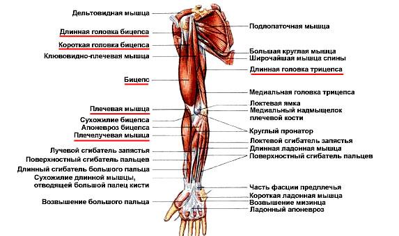 Передняя группа мускулатуры плеча