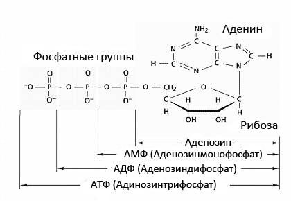 АТФ (Адинозинтрифосфат)