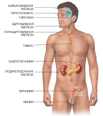 endocrine-organs