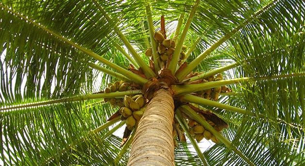 neozhidannaya-pravda-o-kokosovom-masle-2